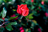perhaps... love unfolded naturally out of a beautiful friendship, as a golden-hearted rose slipping from its green sheath-1
